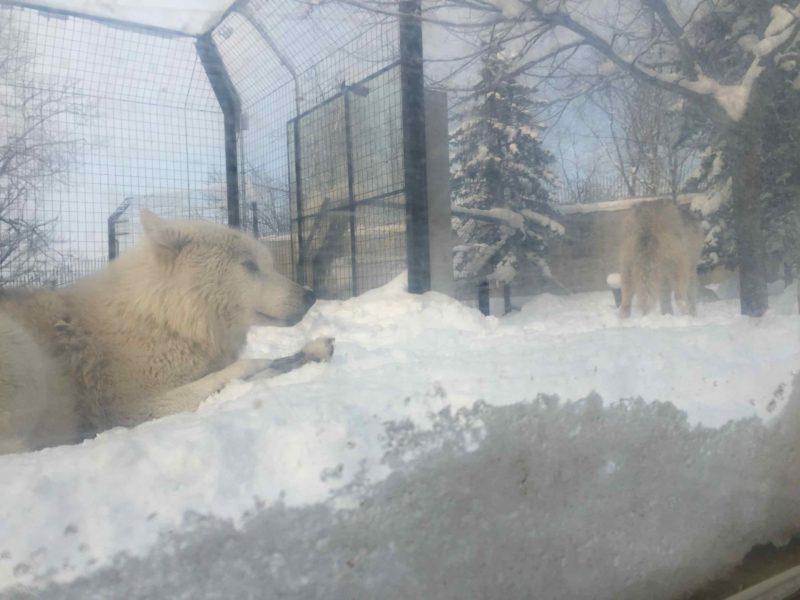 白いシンリンオオカミ