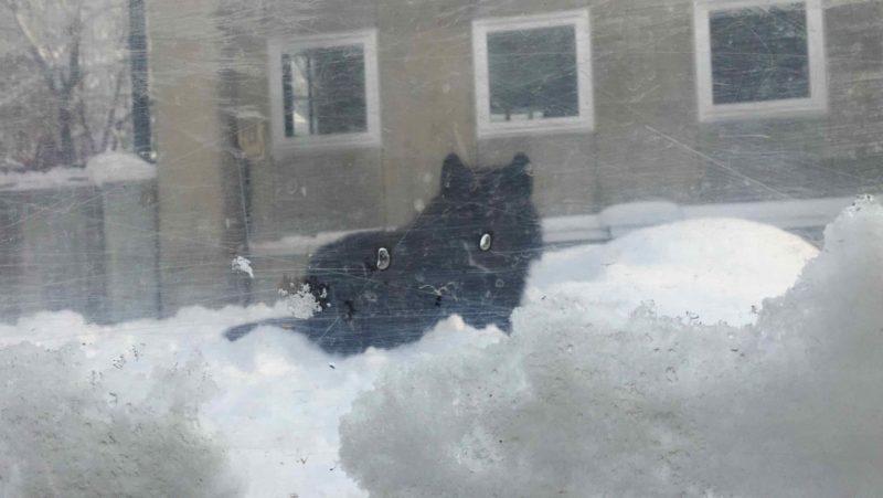 黒いシンリンオオカミ