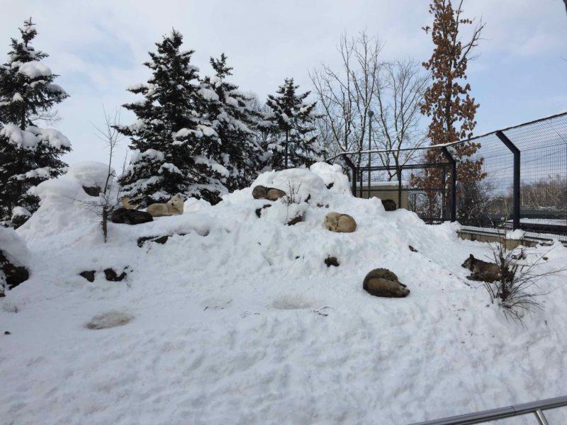 雪の上で眠るシンリンオオカミ達