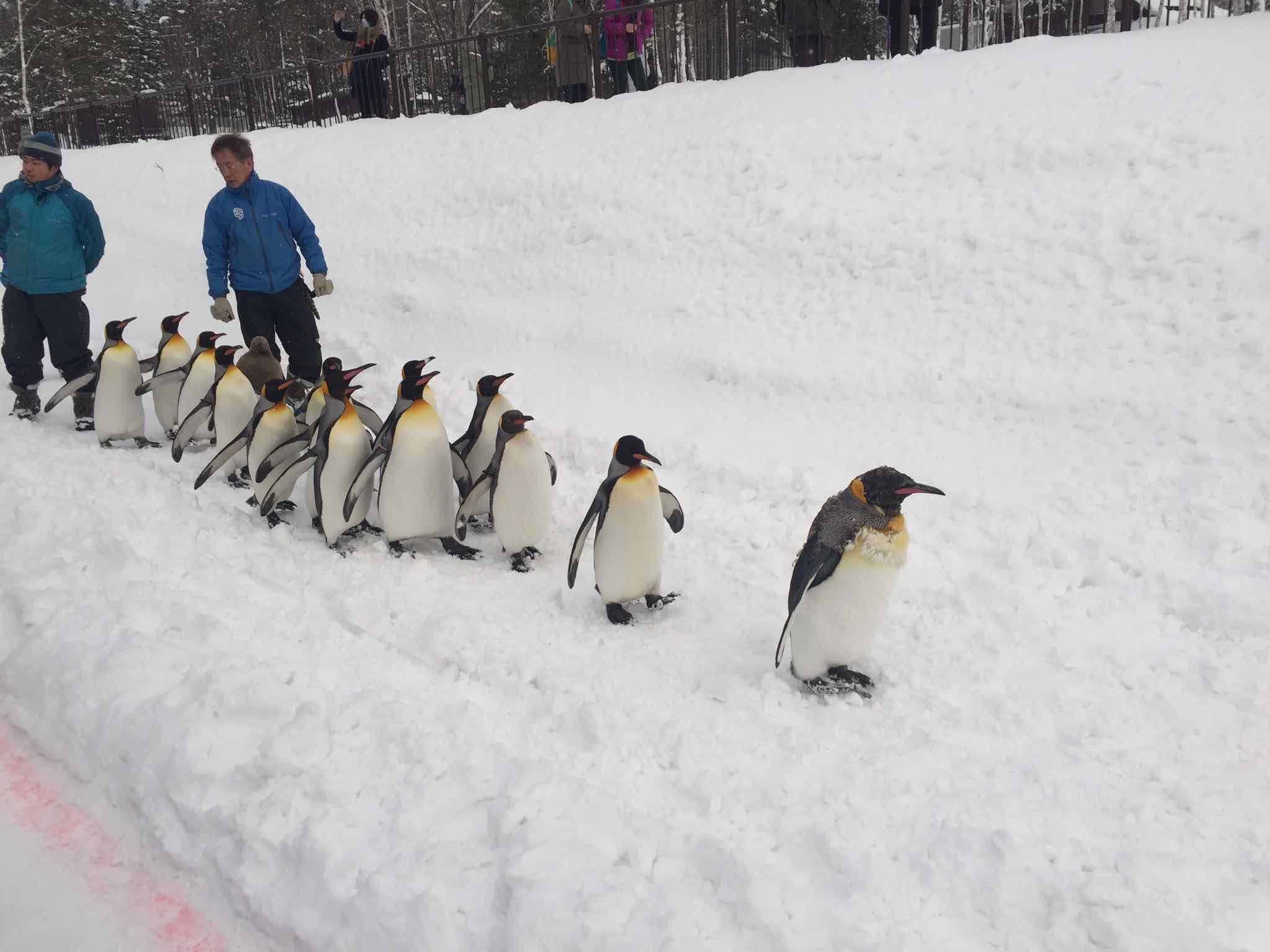 散歩するペンギン達