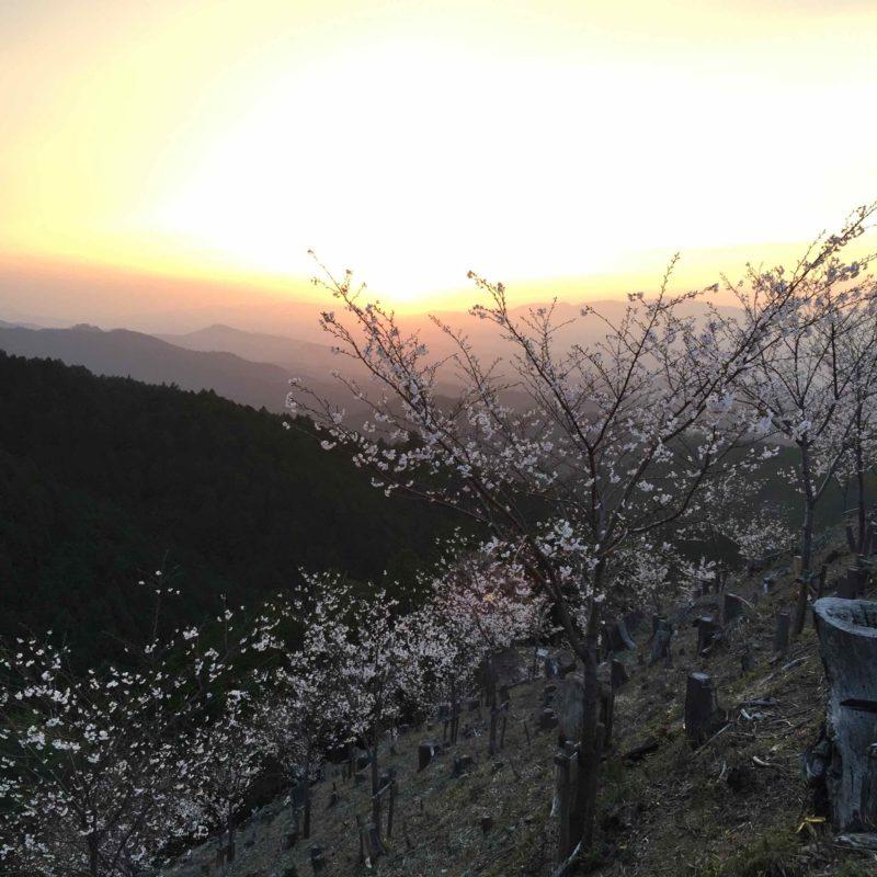 植林中の桜