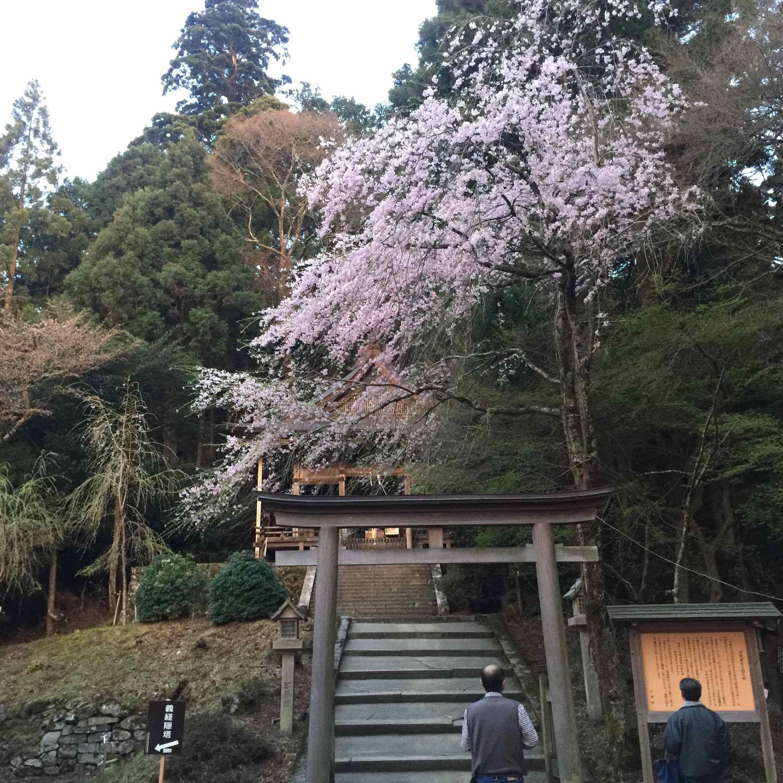 金峯神社のしだれ桜